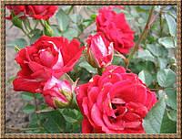 Саженцы роз Мэйди, миниатюрная роза