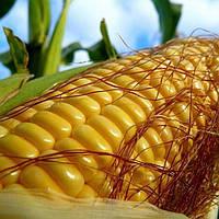 Насіння кукурудзи МАРТІНІКА ФАО 330, фото 1