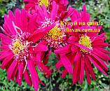Хризантема корейська 2062, фото 4