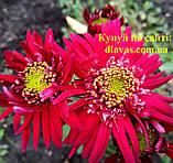 Хризантема корейська 2062, фото 2