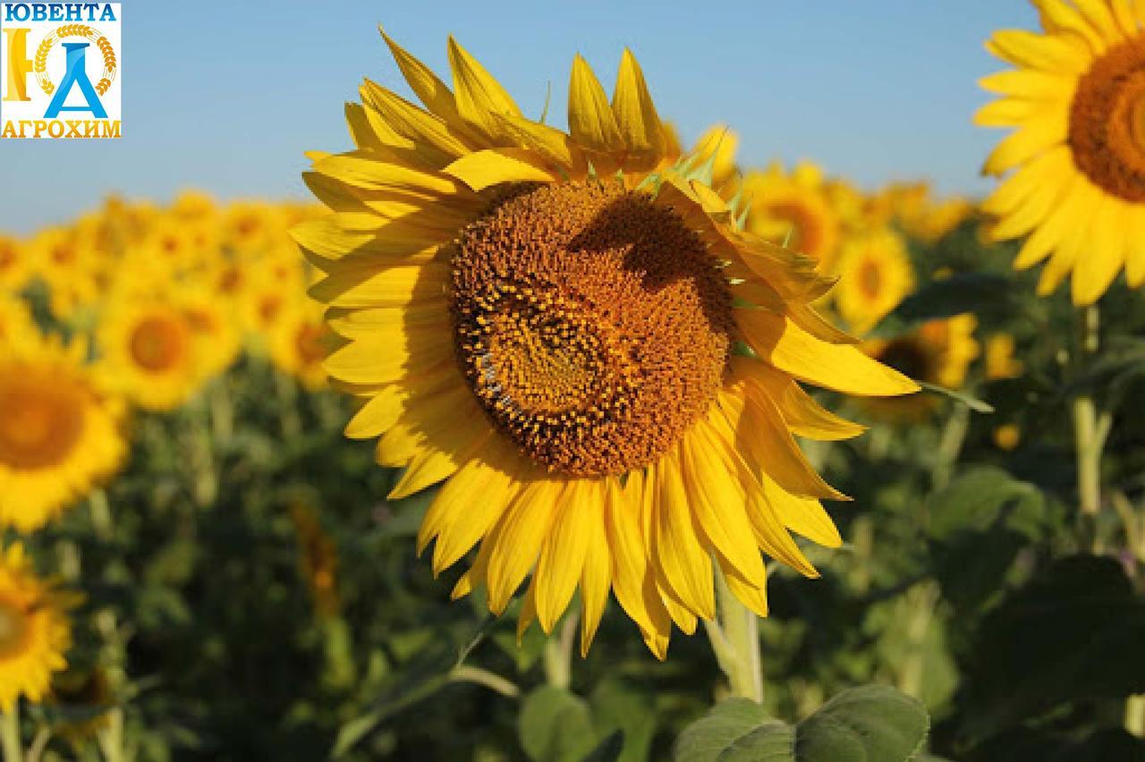 Семена подсолнечника Дунай (станд)