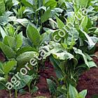 Тютюн курильний Гавана 0.1 г, фото 2