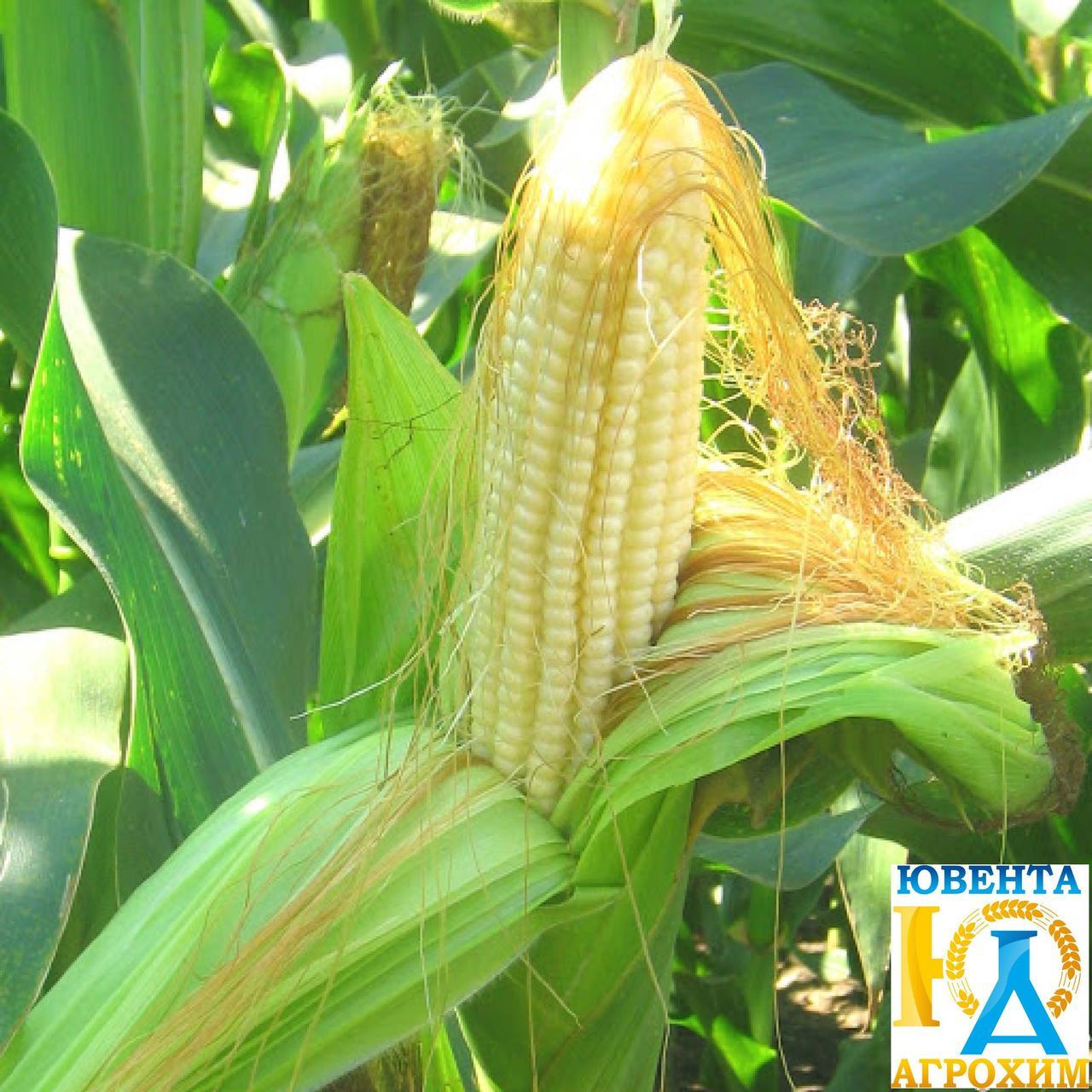 Насіння кукурудзи РАМ 1333