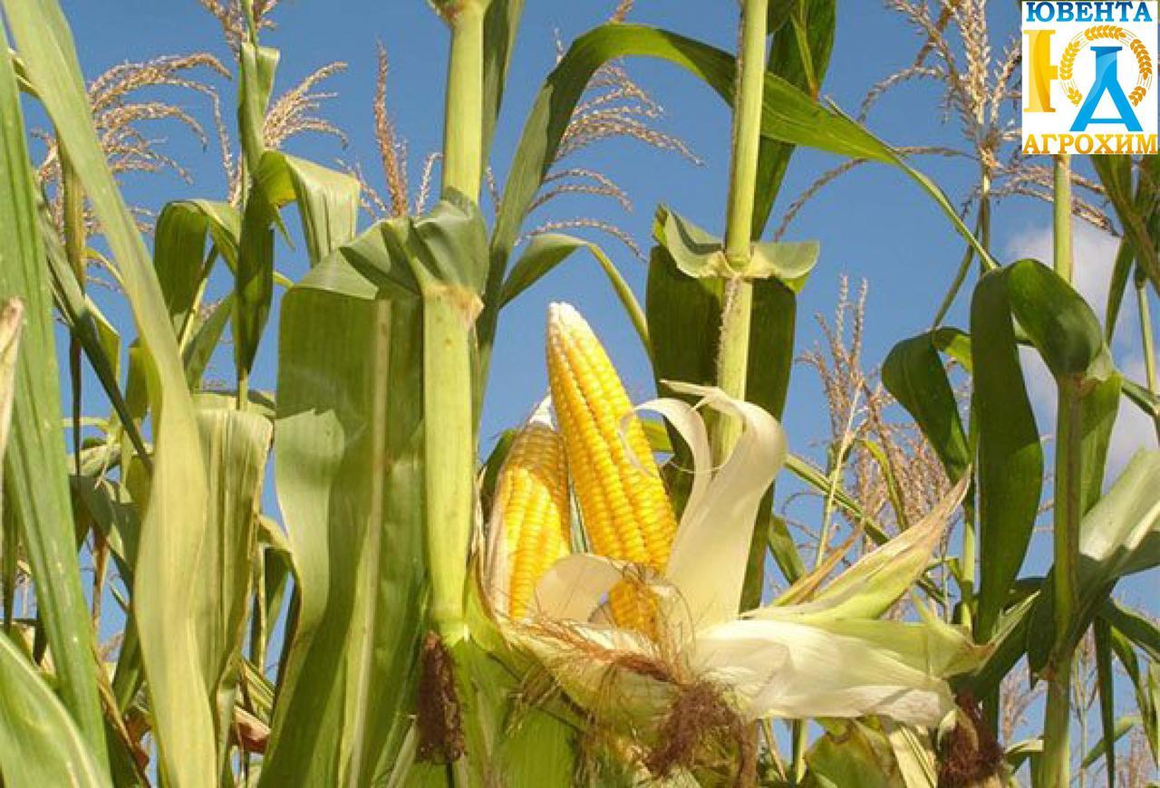 Насіння кукурузи РАМ 8149