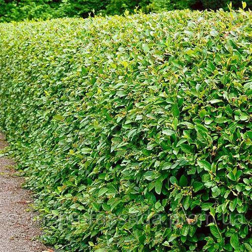 Кизильник блестящий Acutifolia / Саженец: 30-35 см, 2 л  Предварительный заказ, отправка весной 2021г.