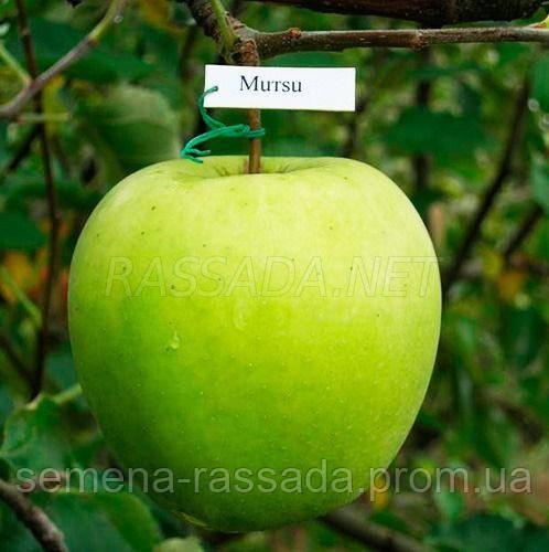 Яблоня Мутсу (2 года, открытый корень).