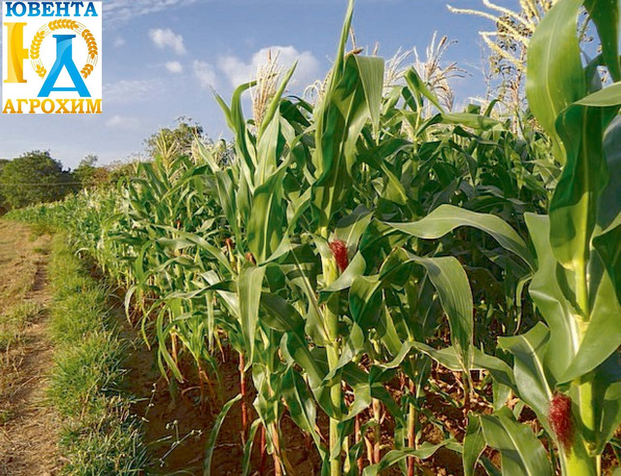 Насіння кукурудзи Жетон