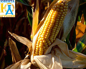 Насіння кукурудзи Подільський 274 СВ