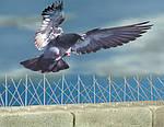 Противоприсадные шипи від голубів і птахів