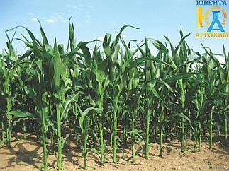 Гибрид кукурузы НС 2652