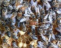 Пчелиные семьи Карпатка на украинскую рамку, фото 1