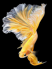 """Набор алмазной вышивки (мозаики) """"Золотая рыбка-2"""""""