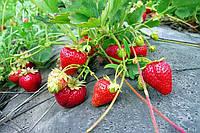 Используем агроволокно при выращивании клубники