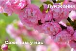 Саженцы миндаль трехлопастной, Луизиания Декоративный кустарник розовый, фото 2