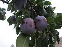 Саженцы плодовых деревьев Алыча