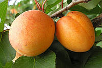 Саженец, саженцы плодовых деревьев абрикос, абрикосы: полеский крупно плодный.