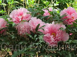 Пион Древовидный Розовый