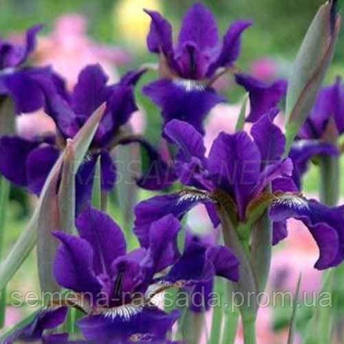 Ирис сибирский (фиолетовый) (2 л).