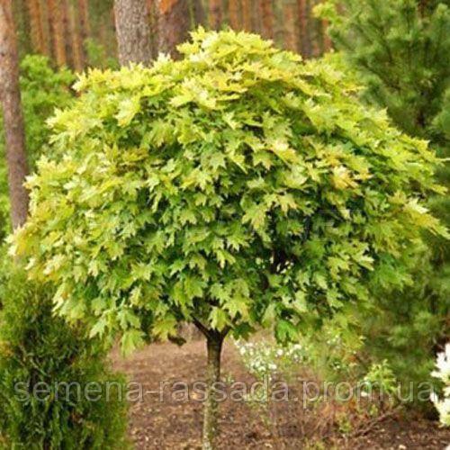 Клен остролистный Globosum Select (190-200 см, 20 л).