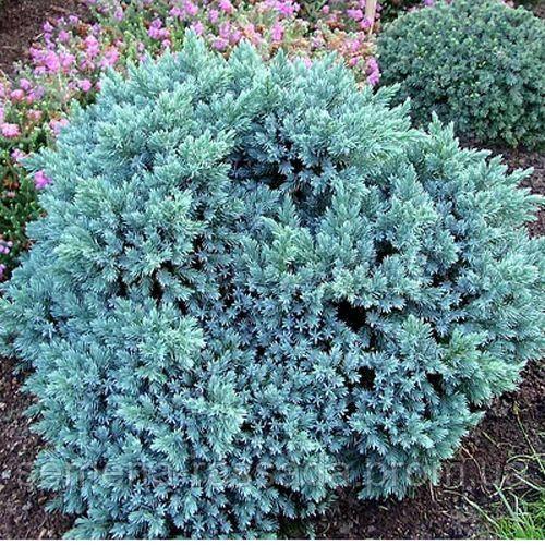 Можжевельник чешуйчатый Blue Star (8-10 см, P9) Предварительный заказ, отправка весной 2021г.