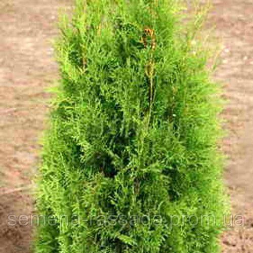 Туя западная Smaragd (70-80 см, 10 л).