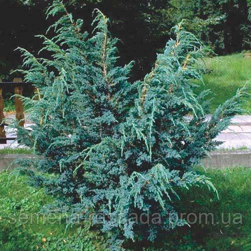 Можжевельник чешуйчатый Meyeri (50-60 см, 45 л).