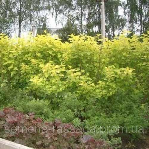 Изгородь из пузыреплодника Luteus 5 м.п. (10 растений на 5,5 п. м. высотой 25-40 см (С3)).
