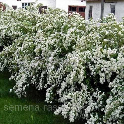 Изгородь из Спиреи Вангутта 5 п.м. (10 растений на 5 п. м. высотой 30-40 см).