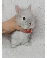 """Карликовый торчеухий кролик,порода """"Львиная голова"""",окрас """"Светлое серебро"""",возраст 1мес."""
