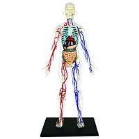Объемная анатомическая модель 4D Master Тело человека прозрачное, фото 1