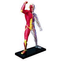 Объемная анатомическая модель 4D Master Мускулы и скелет человека