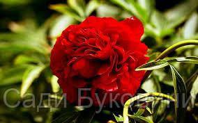 Пион Травянистый Красный (корневище)