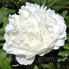 Пион Травянистый Белый (корневище)