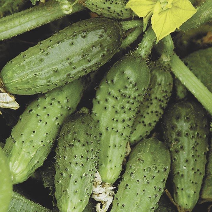 Насіння огірок Кущової