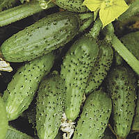Семена  огурец Кустовой
