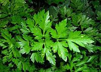 Семена петрушка листовая