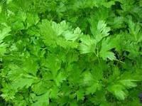 Семена петрушка листовая Гигантелла