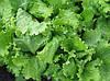 Семена салат Одесский кучерявец