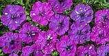 Петуния Звёздное Небо(Dot Star F1) 200 шт Cerny Чехия Dark Violet, фото 2