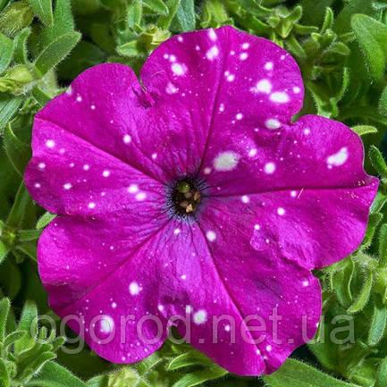 Петуния Звёздное Небо(Dot Star F1) 200 шт Cerny Чехия Dark Violet