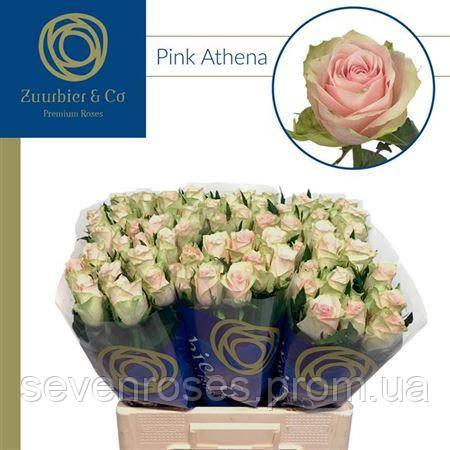 Роза Pink Athena 60см