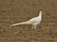 Рідкісні види фазанів Мисливський фазан, румунський фазан та інші