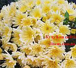 Хризантема Біглі КРЕМ, фото 3