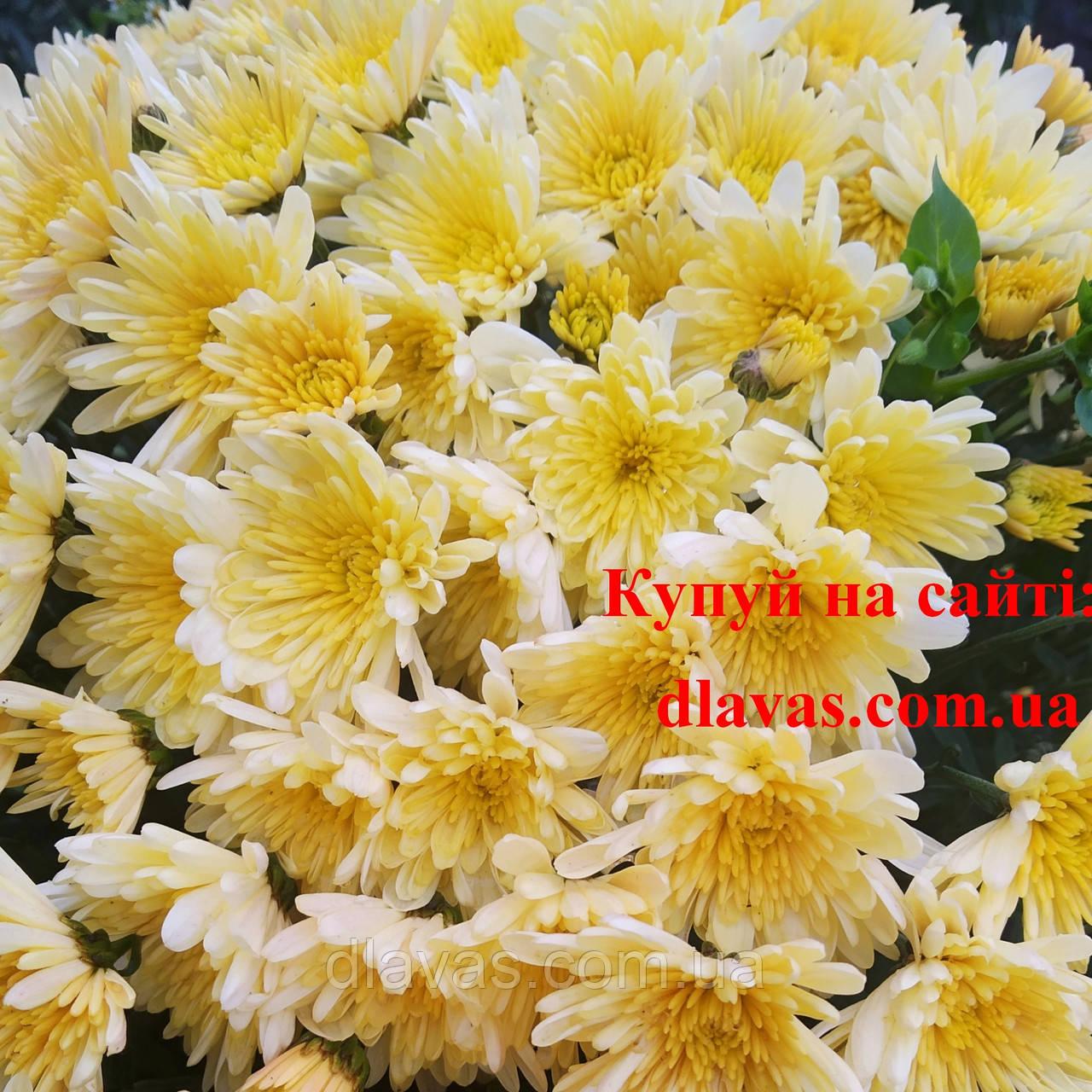 Хризантема Біглі КРЕМ