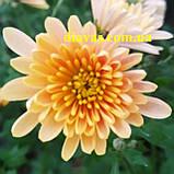 Хризантема Біглі КРЕМ, фото 2