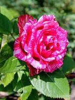 Саженцы чайно-гибридных  роз Пинк Интуишен  ( (Pink Intuition)