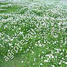 Клевер белый Jura 500 г Feldsaaten Freudenberger, фото 3