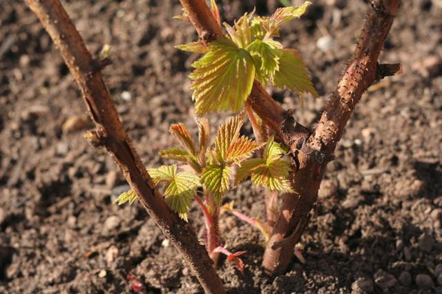 саженцы малины, посадка малины, почва для малины, как сажать малину