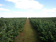 Саженцы малины: раскрываем секреты высокого урожая!