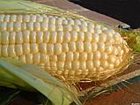 Семена кукурузы Аурум ФАО 320 (МАИС Черкассы), фото 4